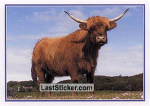 Highland Cattle (Rural Scotland)