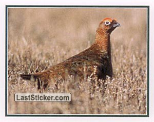 Grouse (Wildlife)
