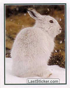 Mountain Hare (Wildlife)